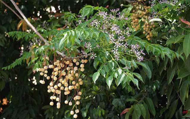Cây xoan rừng chữa viêm túi mật, sỏi túi mật