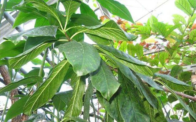 Bài thuốc dân gian từ cây sừng trâu