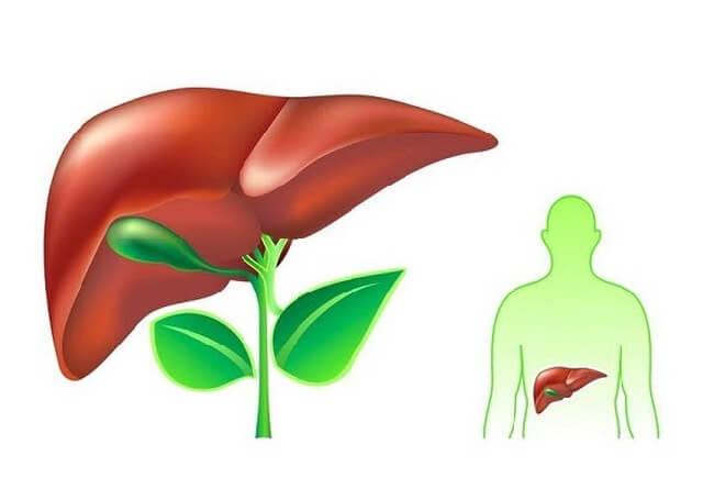Cenditan giúp mát gan và giải độc cơ thể một cách hiệu quả