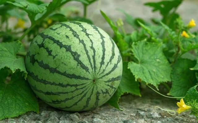 Dưa hấu có nhiều vitamin rất tốt cho cơ thể