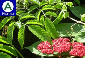 Giới thiệu về cây Gối hạc