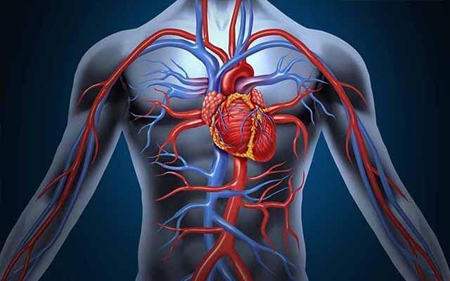 Bảo vệ hệ thống tim mạch.