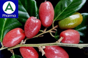 Giới thiệu về cây Nhót