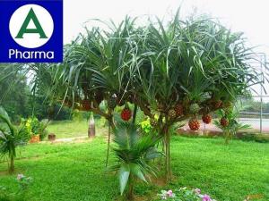 Giới thiệu sơ bộ về dược liệu cây dứa dại