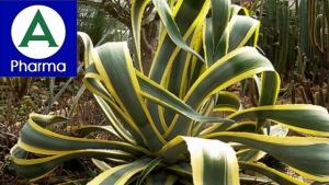 Giới thiệu sơ lược về dược liệu cây dứa Mỹ