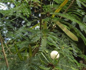 Hình ảnh cây Keo Dậu