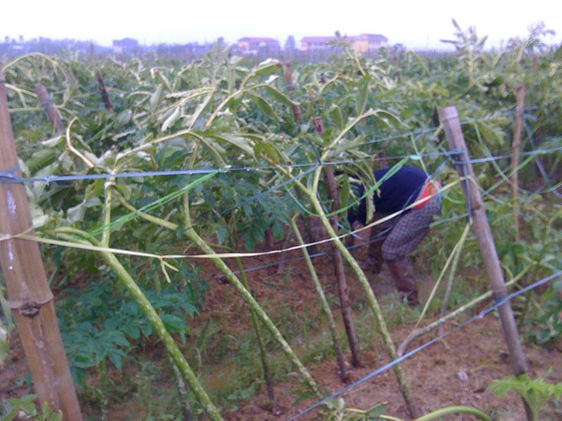 Cây khoai nưa