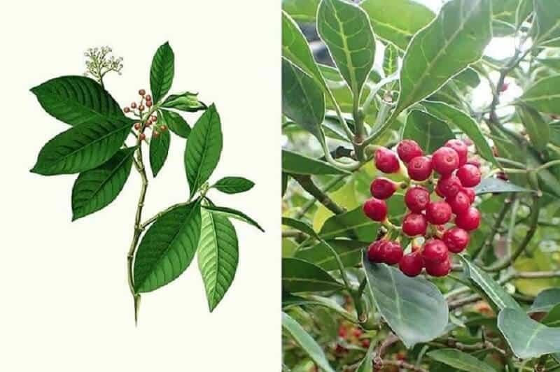 Bộ phận cây lấu đỏ được sử dụng làm dược liệu