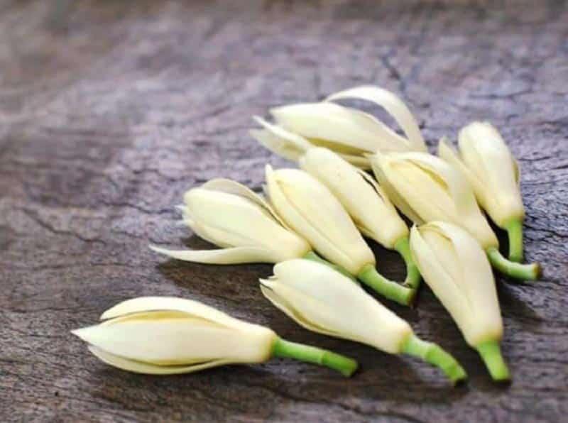 Cây sứ ngọc lan