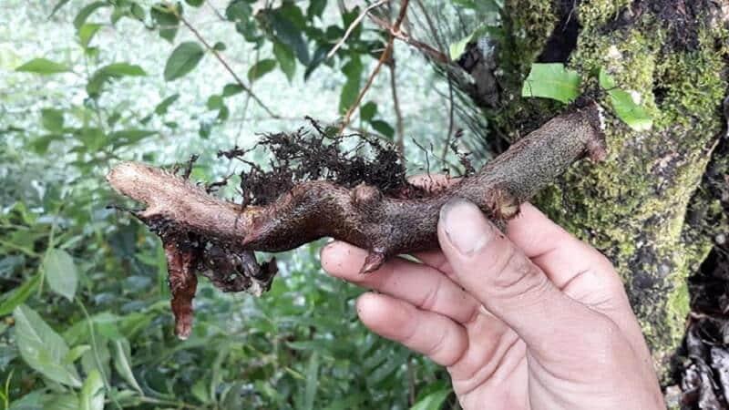 Hình ảnh thân rễ thảo dược tắc kè đá