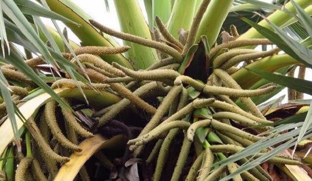 Bộ phận cây thốt nốt được sử dụng làm dược liệu