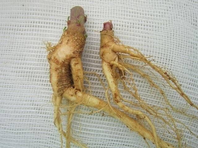 Bộ phận cây thương lục được sử dụng làm dược liệu