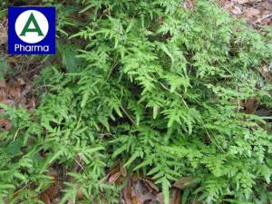 Tên cây thảo dược Hải Kim Sa