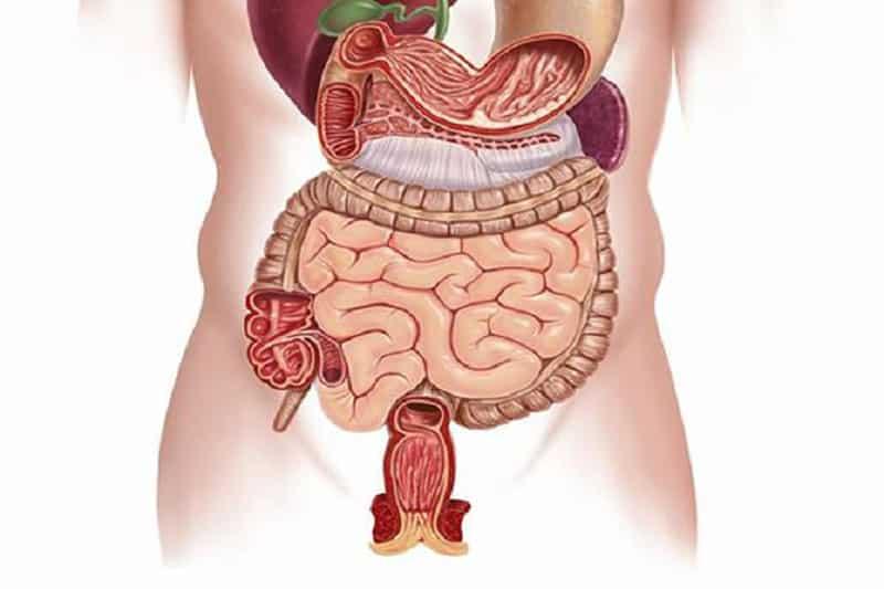 Hệ tiêu hóa thuộc lục phủ ngũ tạng