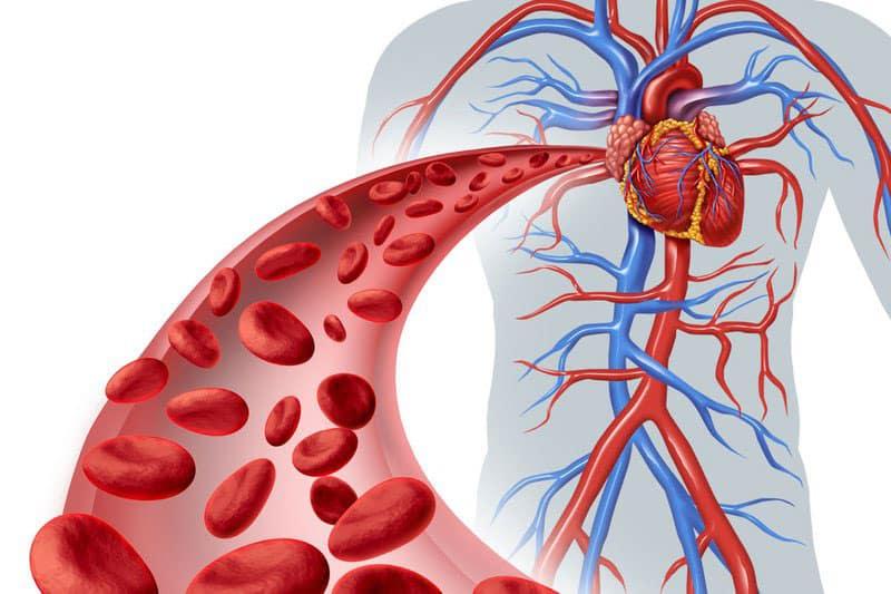 Hệ tuần hoàn nằm trong lục phủ ngũ tạng