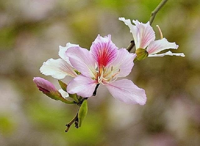 Cánh hoa ban: có tác dụng lợi tiểu, tiêu thũng