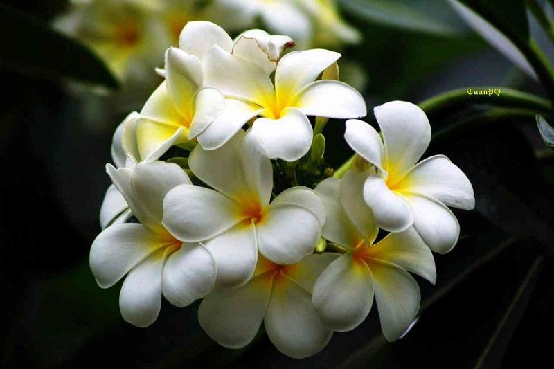 Bộ phận sử dụng dùng làm thuốc của cây hoa đại