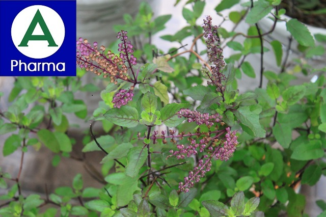Giới thiệu cây hương nhu tía