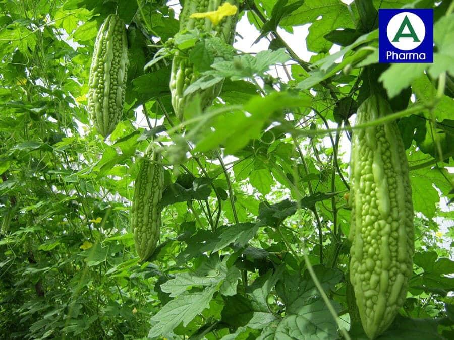Khổ qua rừng tự nhiên được trồng theo công nghệ sinh học tại Mudaru