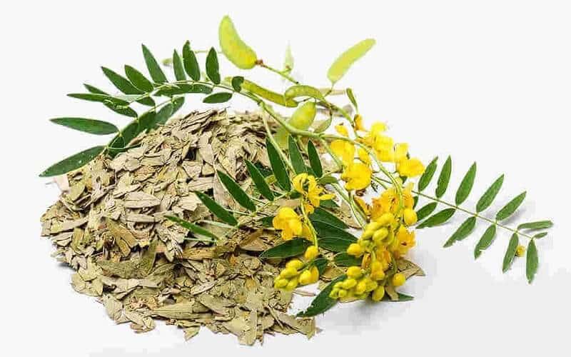 Lá cây phan tả diệp dùng làm thuốc