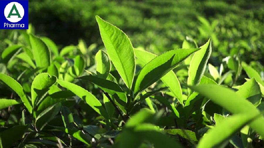 Có thể đun nước lá trà xanh để ngâm rửa vùng kín