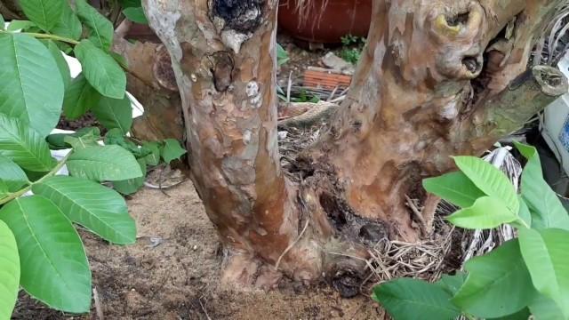 Vỏ rễ và vỏ thân ổi: Được sử dụng đặc trị trong rửa vết thương, vết loét,…