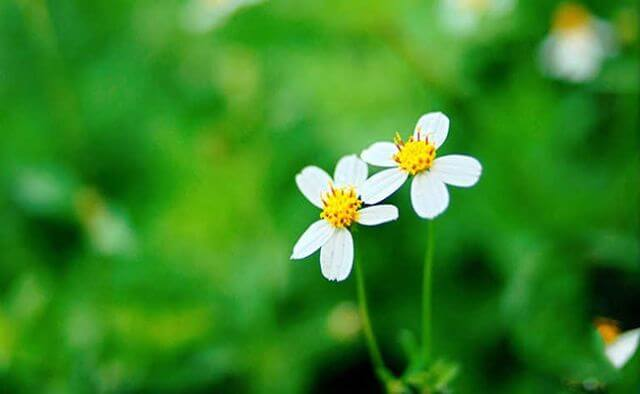 Lá hoa xuyến chi