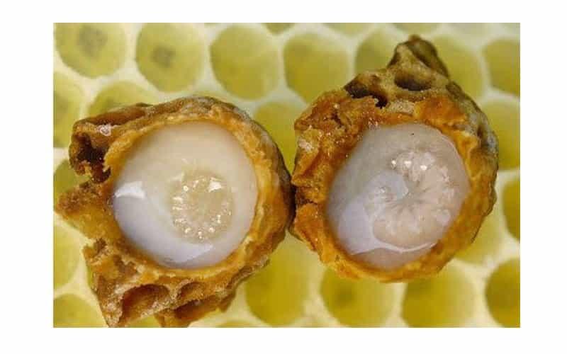 Sữa ong chúa chứa nhiều chất dinh dưỡng tốt cho sức khỏe