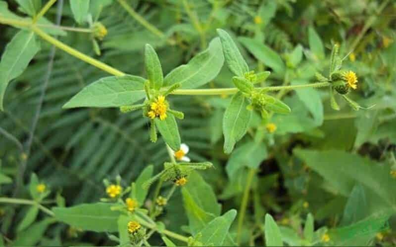 Thành phần của cây chó đẻ hoa vàng