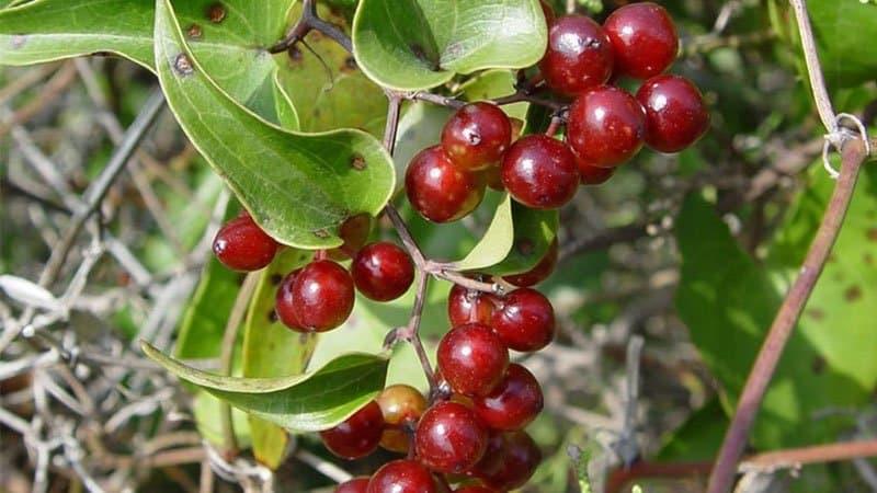 Công dụng của cây thổ phục linh đối với sức khỏe